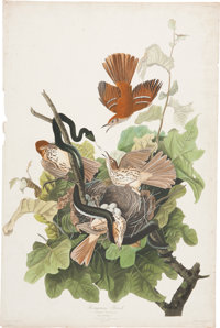 John James Audubon (1785-1851). Ferruginous Thrush - Plate CXI (Havell Edition).  A lively hand-colored aquatin