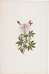 John James Audubon (1785-1851). Ruff-necked Humming-bird - Plate CCCLXXIX (Havell Edition).  An absolutely love