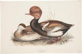 Antiques:Posters & Prints, John Gould (1804-1881). Red-Crested Duck....