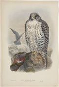 Antiques:Posters & Prints, John Gould (1804-1881). Two Prints: Falco Islandus (Adult). [and:]Falco Islandus (Young).... (Total: 2 Items)