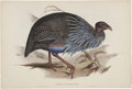 Antiques:Posters & Prints, John Gould (1804-1881). Two Prints: Numida Vulturina. [and:]Ceriornis Temminckii.. ... (Total: 2 Items)