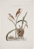 Antiques:Posters & Prints, Cornelius Nozeman (1721-1786). Turdus, junco, minor. Hand-coloredengraving from Nederlandsche Vogelen (Amsterdam: 1...
