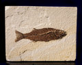 Fossils:Fish, LARGE PREDATORY FOSSIL PERCH. ...