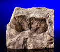 Fossils:Echinoderms, RARE EARLY STAR-SHAPED ECHINODERMS. ...