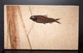 Fossils:Fish, FOSSIL FISH WITH PALM LEAF FRAGMENT. ...