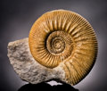 Fossils:Cepholopoda, WELL DEFINED AMMONITE. ...