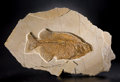 Fossils:Fish, LARGE PREDATORY FISH FOSSIL. ...