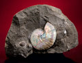 Fossils:Cepholopoda, AMMONITE WITH IRIDESCENCE. ...