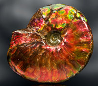 ROBUST GEM AMMONITE