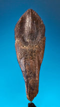 Dinosauria:Teeth, TRICERATOPS TOOTH. ...