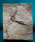 Fossils:Echinoderms, FINE DOUBLE CRINOID PLATE. ...