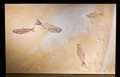 "Fossils:Fish, FOSSIL FISH PLATE FEATURING ""FISH-IN-A-FISH"". ..."