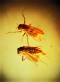 Amber, PAIR OF TRUE MIDGES IN BALTIC AMBER. ...