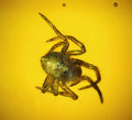Amber, JUVENILE SPIDER IN BALTIC AMBER. ...