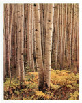 Photographs:Contemporary, ELIOT FURNESS PORTER (American, 1901-1990). Aspens, Colorado,from Certain Passages, 1959. Dye-transfer, 1989. 15-7/8 x ...