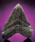 Fossils:Fish, SIGNIFICANTLY LARGE MEGALODON TOOTH. ...