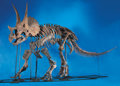 Fossils:Dinosauria, A VIRTUALLY COMPLETE AND IMPORTANT TRICERATOPS SKELETON. ...