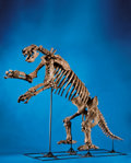 Fossils:Mammals, SUPERB GIANT GROUND SLOTH SKELETON. ...