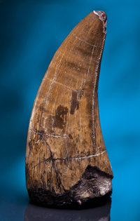 A VERY LARGE AND PRISTINE T. REX TOOTH