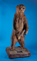 Zoology:Taxidermy, ALASKAN BROWN BEAR FULL-BODY MOUNT. ...