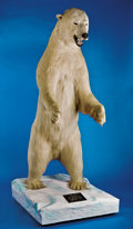 Zoology:Taxidermy, POLAR BEAR FULL-BODY MOUNT. ...