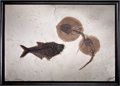 Fossils:Fish, EXCEPTIONAL DOUBLE STINGRAY AND FISH PLATE. ...