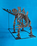 "Dinosauria:Bones, THE STEGOSAURUS, ""FANTASIA"" - MOUNTED SKELETON. ..."
