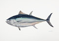 Mainstream Illustration, FLICK FORD (American, b. 1954). World Record Blue Fin Tuna,2007. Watercolor on paper. 22.5 x 30.5 in.. Signed and dated...