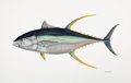 Mainstream Illustration, FLICK FORD (American, b. 1954). World Record Yellow FinTuna, 2008. Watercolor on paper. 20.5 x 30.5 in.. Signed anddat...