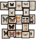 Latin American:Early 20th Century, THE COLLECTION OF PAUL GREGORY AND JANET GAYNOR. A COLLECTION OFMOUNTED BUTTERFLIES IN RIKER SPECIMEN MOUNTS. Each specim...