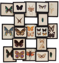 THE COLLECTION OF PAUL GREGORY AND JANET GAYNOR  A COLLECTION OF MOUNTED BUTTERFLIES IN RIKER SPECIMEN MOUNTS