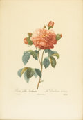 Prints:Old Master, After PIERRE JOSEPH REDOUTE (French, 1759-1840). Rosa GallicaAurelianensis - La Duchesse d'Orleans. Color stipple engra...(Total: 1 Item)