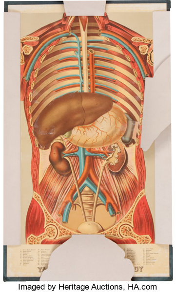 Yaggy\'s Anatomical Study; Presenting the Skeleton, | Lot #36256 ...