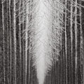 Photographs:Contemporary, JEFFREY CONLEY (American, 20th Century). Tree Cathedral,2007. Gelatin silver, 2009. 11-3/4 x 11-3/4 inches (29.8 x 29.8...