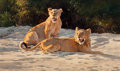 Western, DINO PARAVANO (Italian/American, b. 1935). Morning Light - Young Lions, 1992. Oil on canvas. 24 x 40 inches (61.0 x 101....