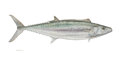 Mainstream Illustration, FLICK FORD (American, b. 1954). World Record King Mackerel,2008. Watercolor on paper. 22.5 x 30.5 in.. Signed and dated...