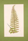 Antiques:Posters & Prints, Four Hand-Colored Prints of Ferns.... (Total: 4 Items)