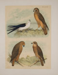Antiques:Posters & Prints, Four Lovely Chromolithographic Plates of Birds. [ca. 1880].Includes hawks. Approximately 15 x 11.5 inches. Mild toning and ...(Total: 4 Items)