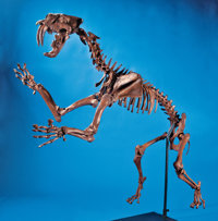 A COMPLETE SKELETON REPLICA OF THE GIANT SOUTH AMERICAN SABER -TOOTHED TIGER