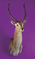 Zoology:Taxidermy, RED LECHWE SHOULDER MOUNT. ...