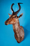 Zoology:Taxidermy, RED CAPE HARTEBEEST SHOULDER MOUNT. ...