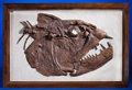Fossils:Fish, DRAMATIC PREDACEOUS FISH SKULL . ...