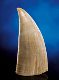 Zoology:Osteology, LARGE SPERM WHALE TOOTH. ...