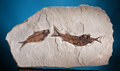Fossils:Fish, SPECTACULAR FOSSIL FISH ASPIRATION. ...