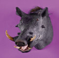 Zoology:Taxidermy, AFRICAN WARTHOG SHOULDER MOUNT. ...