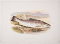 Antiques:Posters & Prints, A. F. Lydon, artist. Two Chromolithograph Plates of Fish DepictingGreat Lake Trout and Galway Sea Trout From Britis... (Total: 2Items)