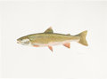 Mainstream Illustration, FLICK FORD (American , b. 1954). Dolly Varden Trout, Fish, 77Great Fish of North America, pages 12-13, 2006. Watercolor...