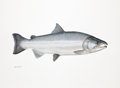 Mainstream Illustration, FLICK FORD (American, b. 1954). Coho Salmon, Big, The 50Greatest World Record Catches, pages 202-203, 2008. Watercolor...