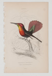 Lot of 11 Vintage Hand-Colored Steel Engraved Hummingbird Illustrations. From The Natural History of Humming-Birds