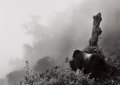 Photographs:20th Century, SEBASTIÃO SALGADO (Brazilian, b. 1944). Ubumbwe in Mist over theForest of the Bisoke Volcano, Rwanda, 2004 . Gelatin si...